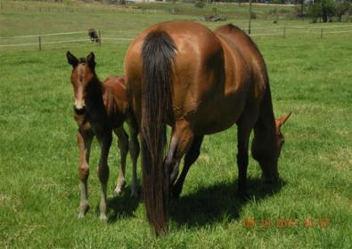Justamossa_and_2011_Horse_Chestnut_foal_395x280