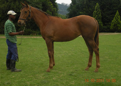 11_10_14____10Justamossa_Yearling_by_Horse_chestnut